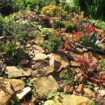 Succulents in a rock garden