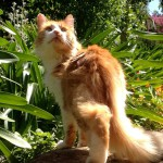 Lovely ginger cat loving the garden